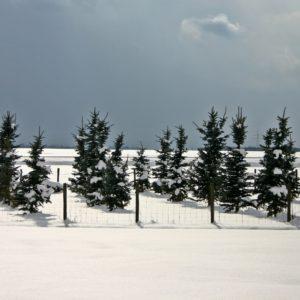conifers-500370